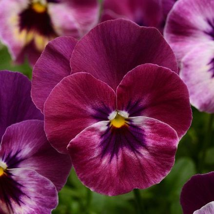 Cool Wave® Raspberry Spreading Pansy